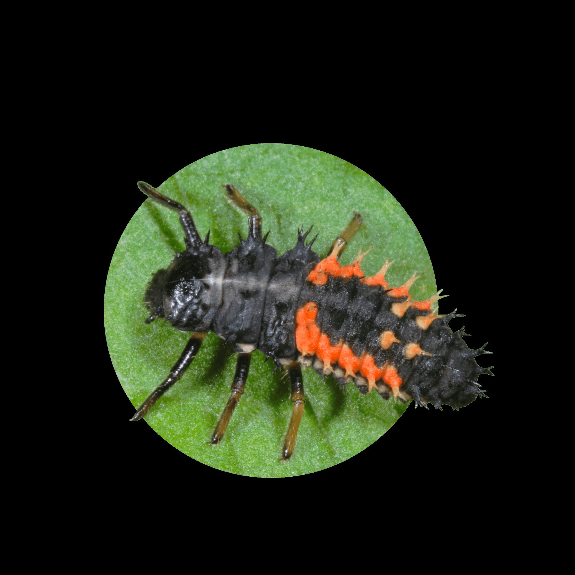 Asiatischer Marienkäfer Larve