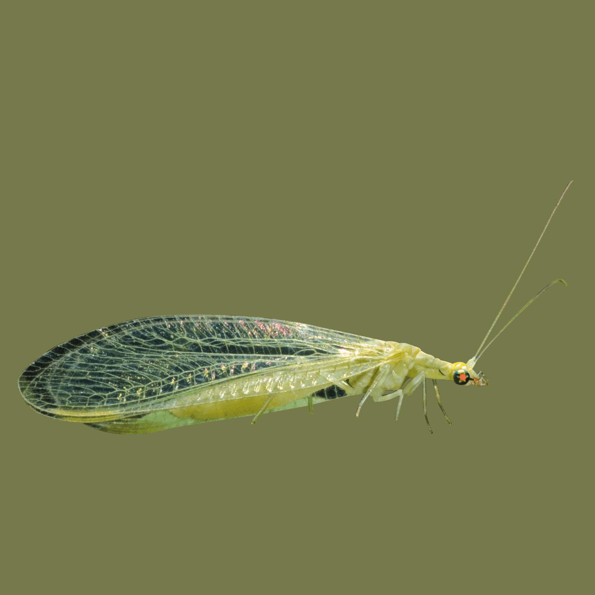 Grüne Florfliege