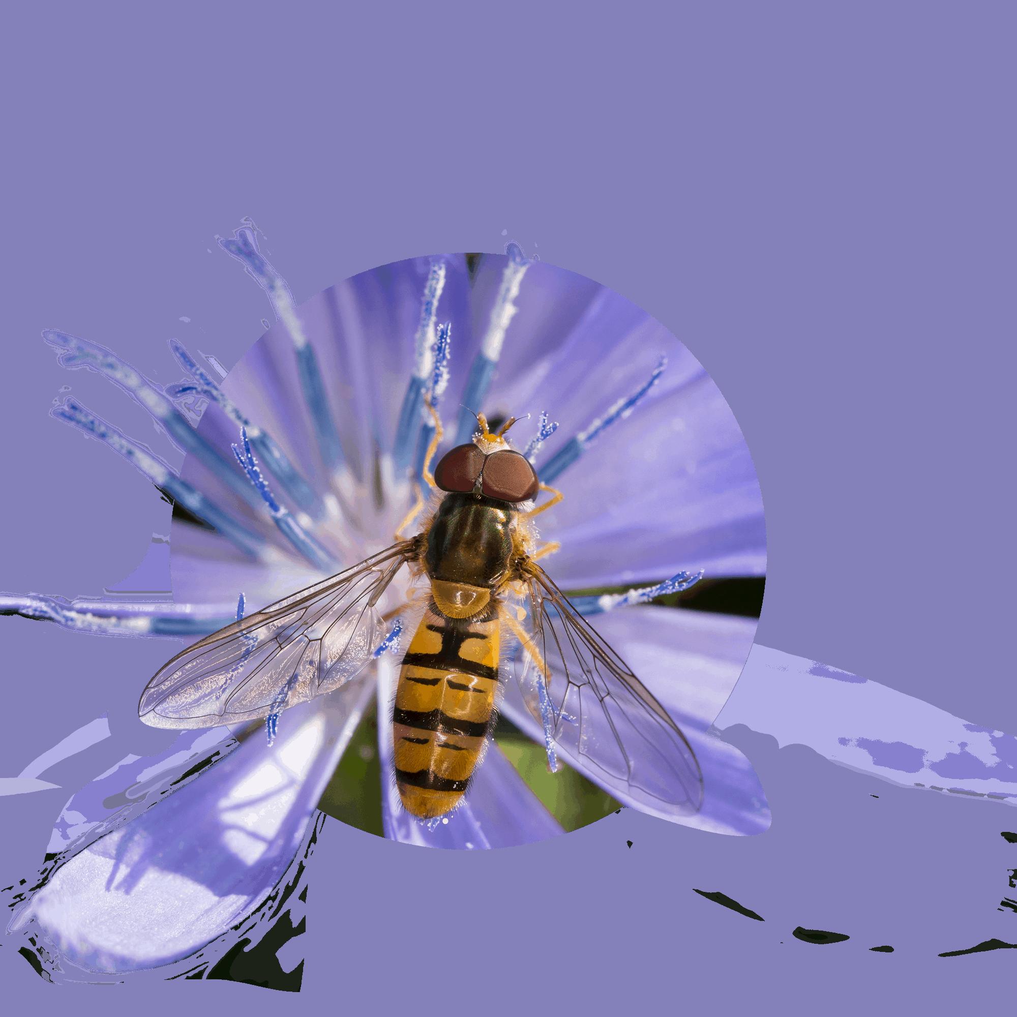 Hain-Schwebfliege