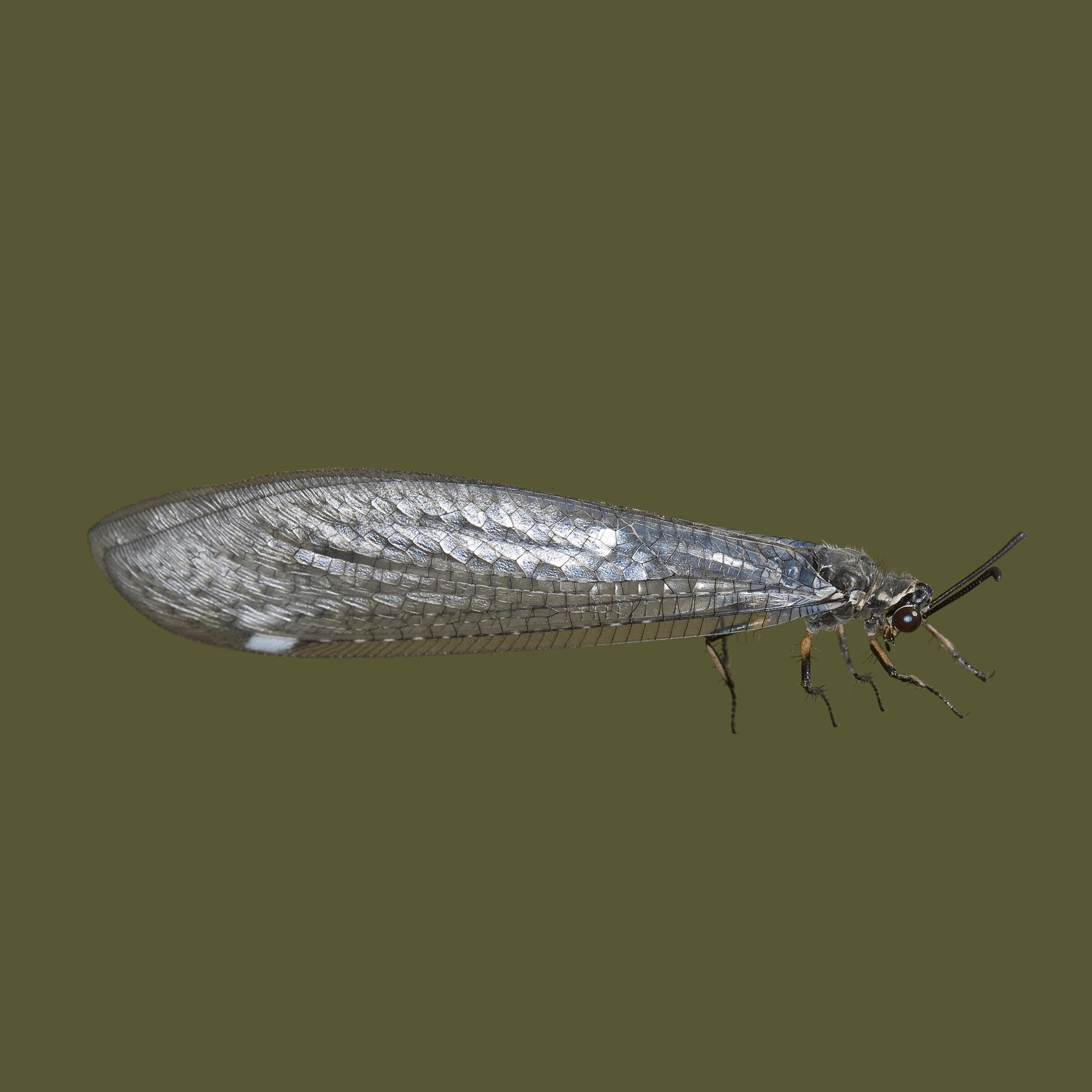 Ameisenjungfer 8