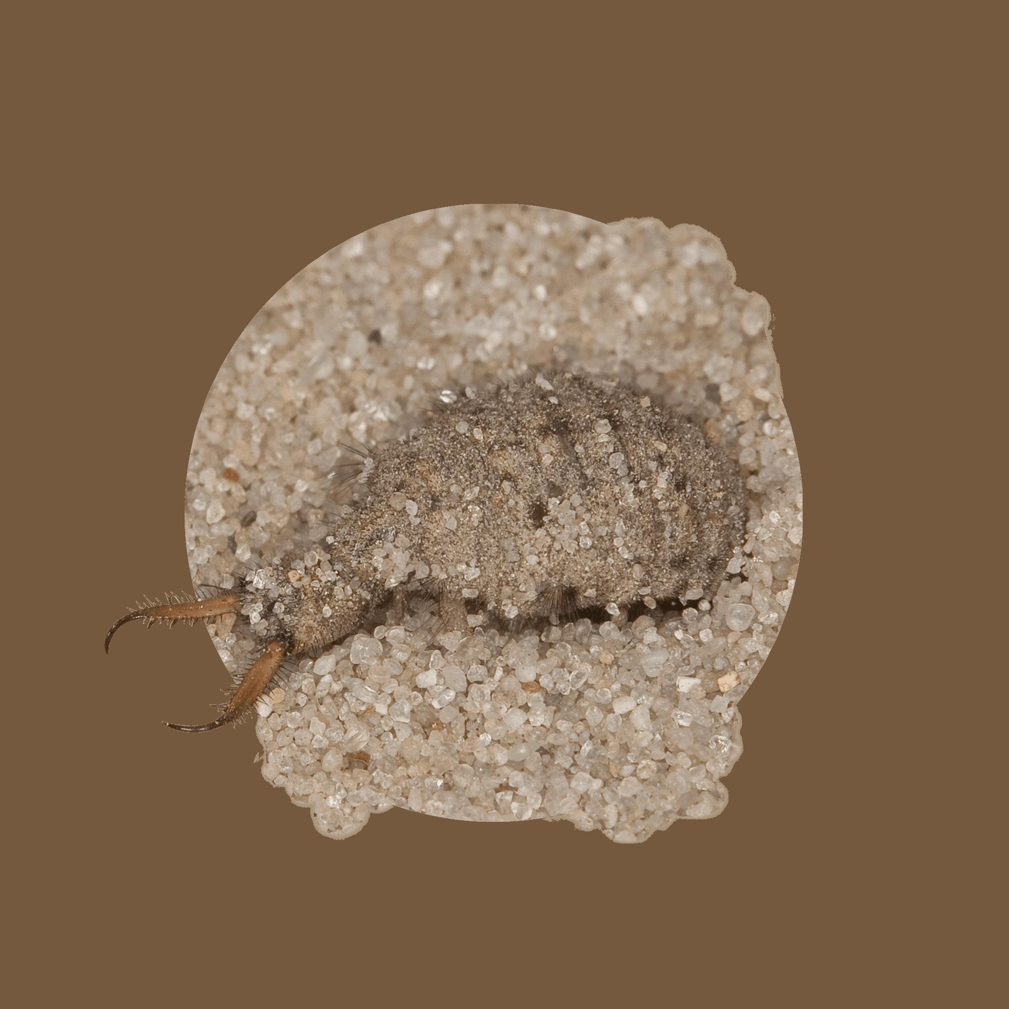 Ameisenjungfer 12