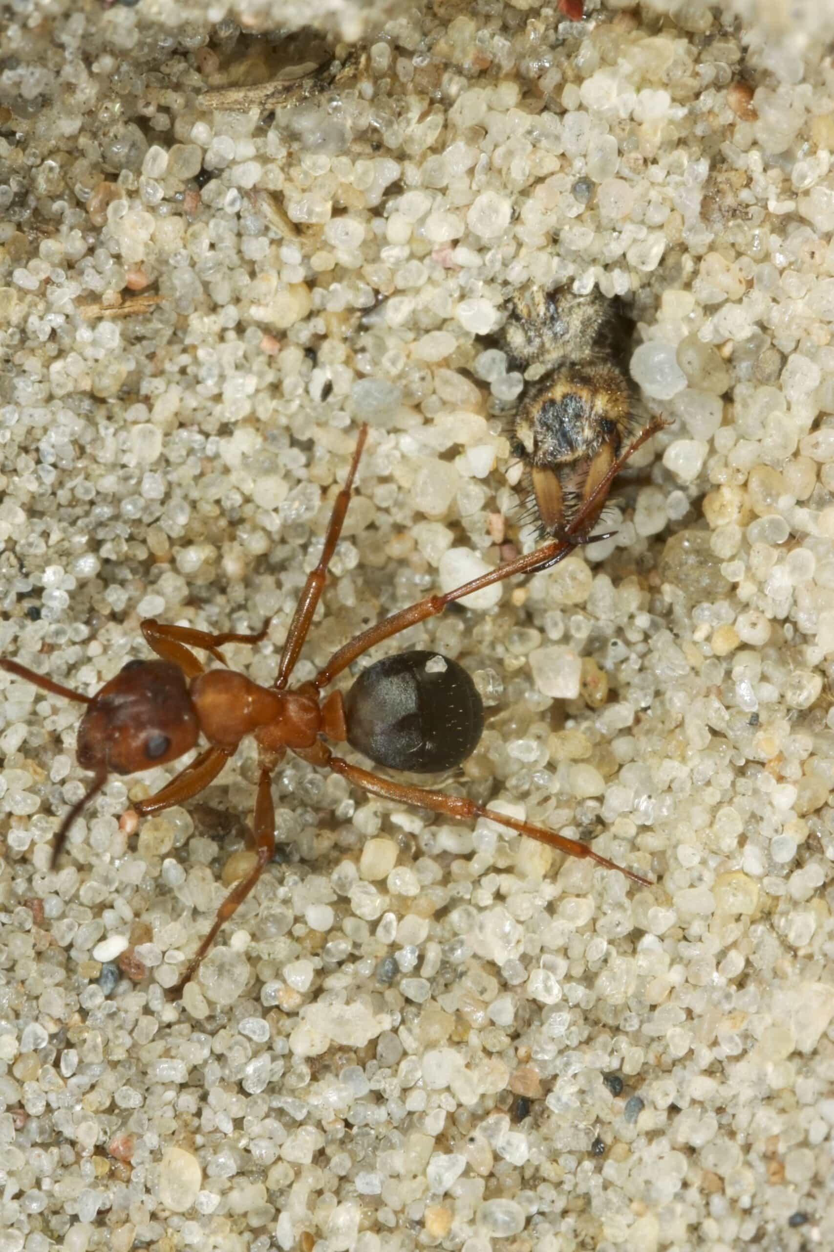 Ameisenjungfer 16