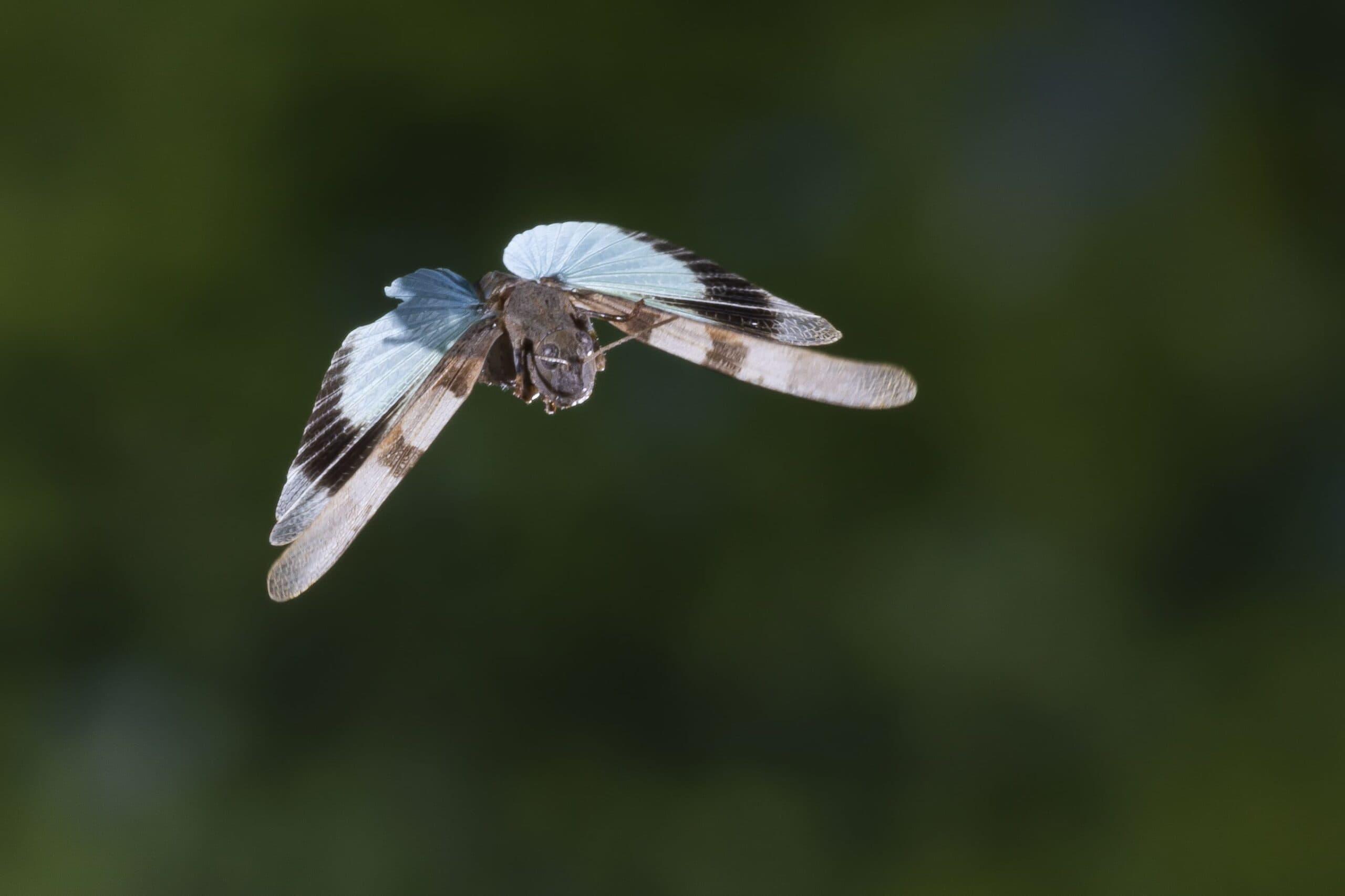 Blauflügelige Ödlandschrecke 19