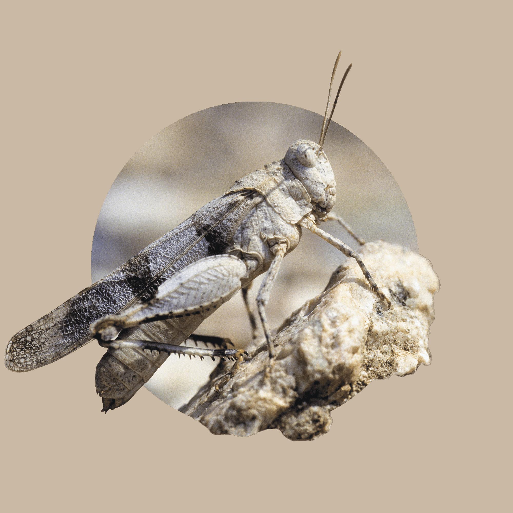 Blauflügelige Ödlandschrecke 7