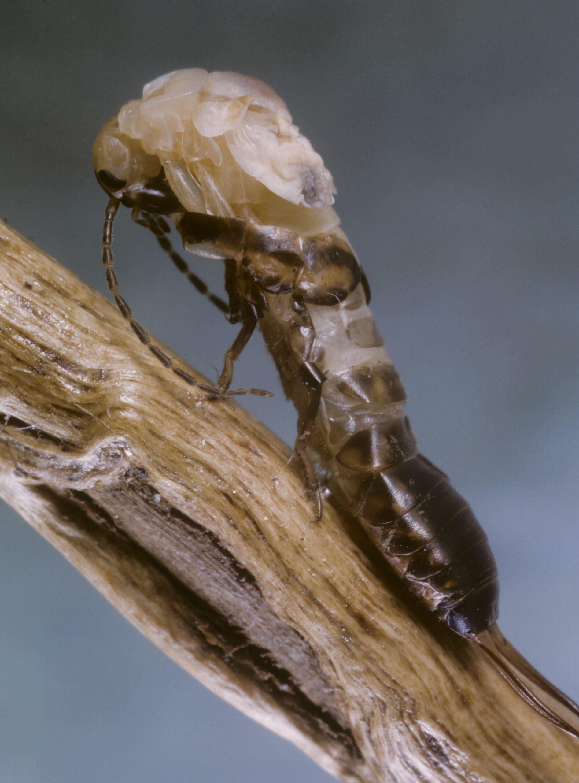 Gemeiner Ohrwurm 19