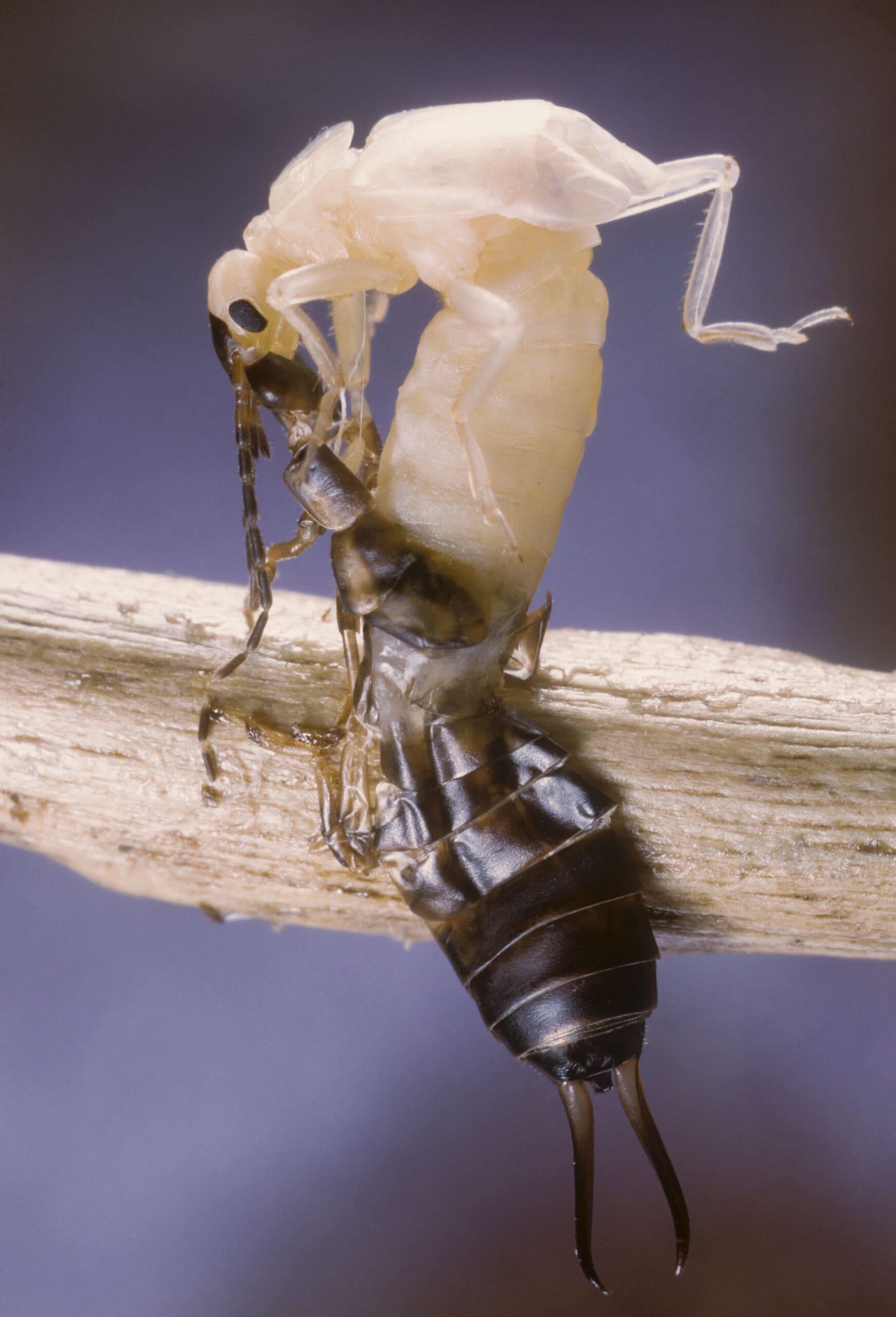 Gemeiner Ohrwurm 20