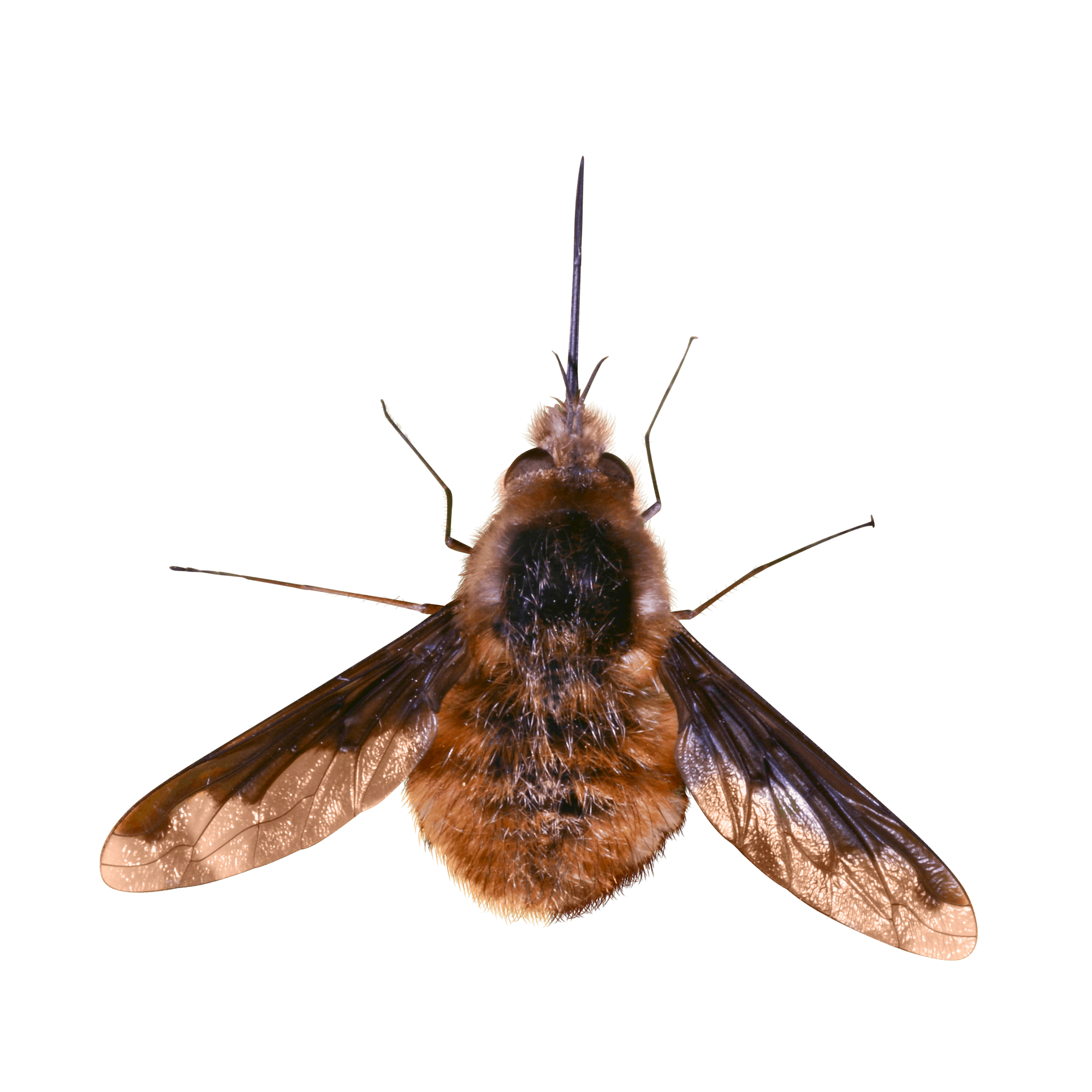 Grosser Wollschweber 9
